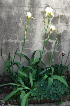 jardin de printemps Iriss10
