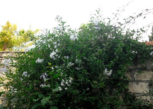 jardin de printemps Jasmin11