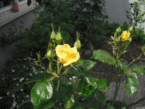 jardin de printemps Rosier11