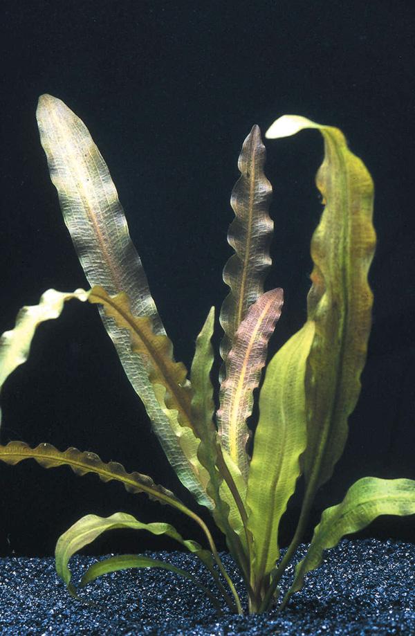 plantes asiatiques Aponog10