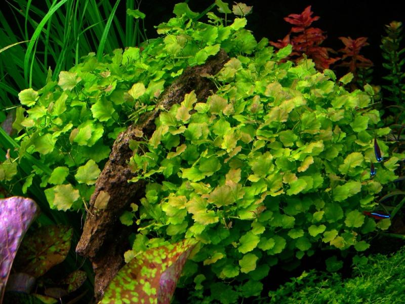 plantes asiatiques Cardam10