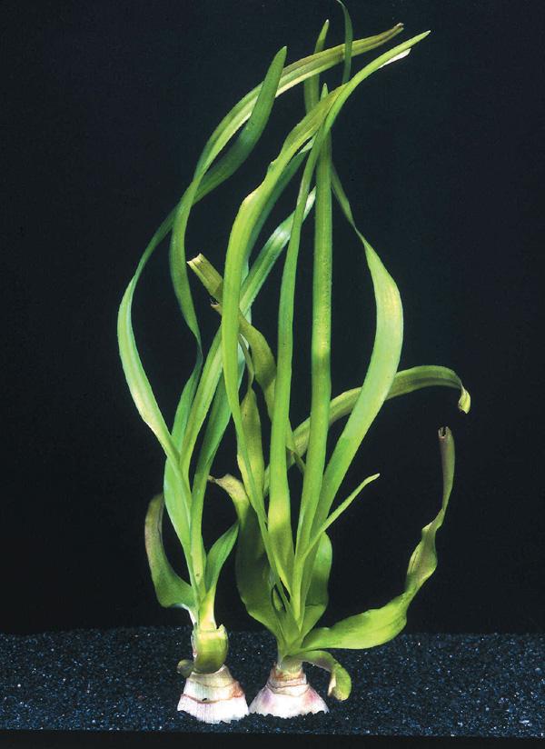 plantes asiatiques Crinum10