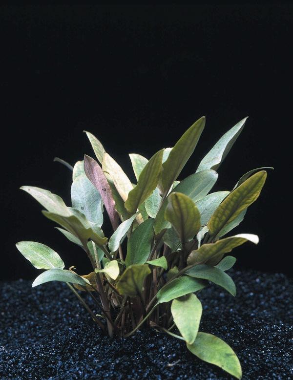 plantes asiatiques Crypto10