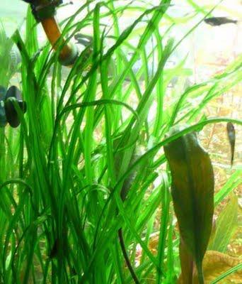plantes asiatiques Crypto11