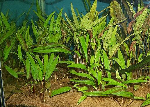 plantes asiatiques Crypto13