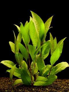 plantes asiatiques Hygrop10