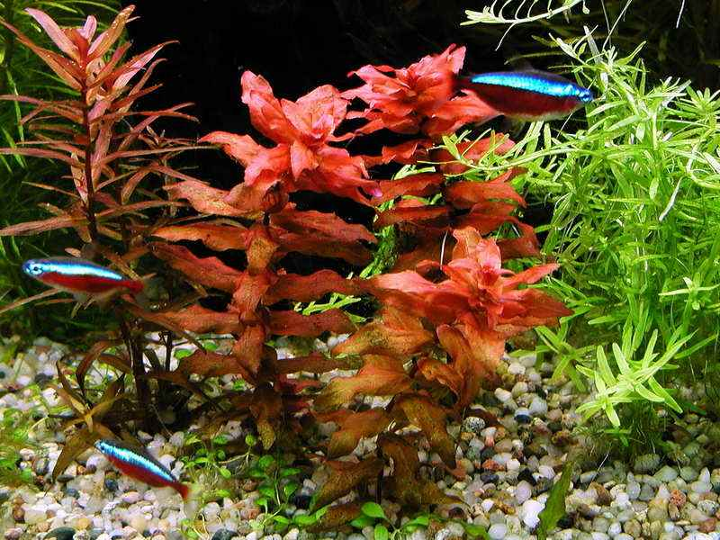plantes asiatiques Rotala11