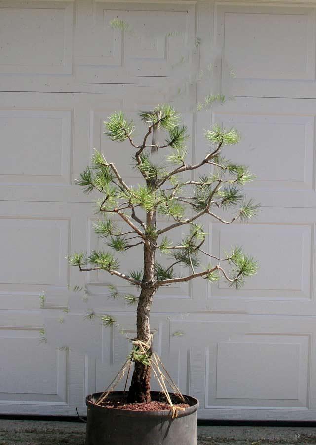 Austrian Pine styling question Austri10