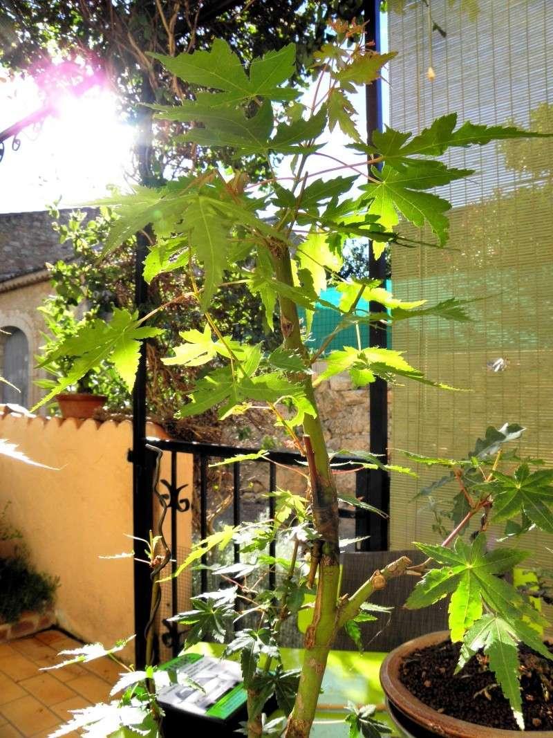 le soleil et le vent !!!l'érable n'aime pas P6250010