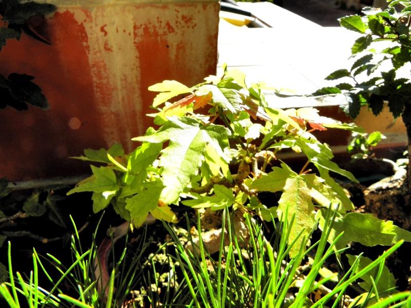 le soleil et le vent !!!l'érable n'aime pas P6250012