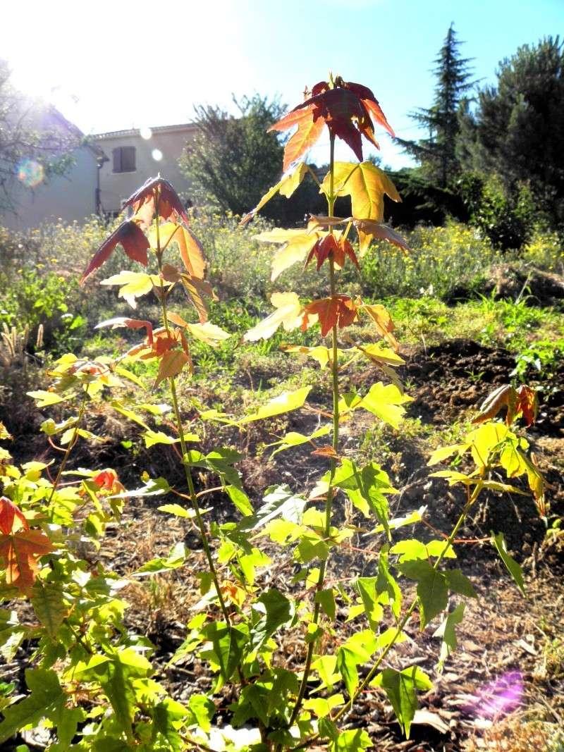 le soleil et le vent !!!l'érable n'aime pas P6250015
