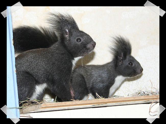♥♥♥ Photos et vidéos de Vanille et Chocolat,écureuils Japonais à ventre blanc... et de leurs frères et soeurs poilus ! ♥♥♥ - Page 5 Copie_61