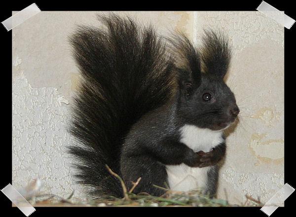 ♥♥♥ Photos et vidéos de Vanille et Chocolat,écureuils Japonais à ventre blanc... et de leurs frères et soeurs poilus ! ♥♥♥ - Page 5 Copie_62