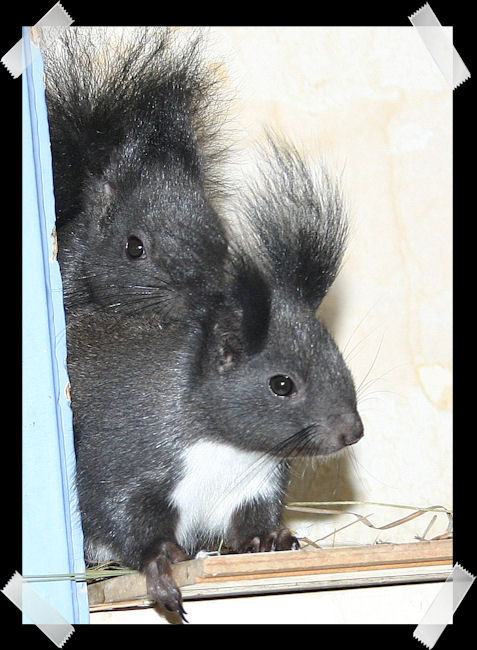 ♥♥♥ Photos et vidéos de Vanille et Chocolat,écureuils Japonais à ventre blanc... et de leurs frères et soeurs poilus ! ♥♥♥ - Page 5 Copie_63