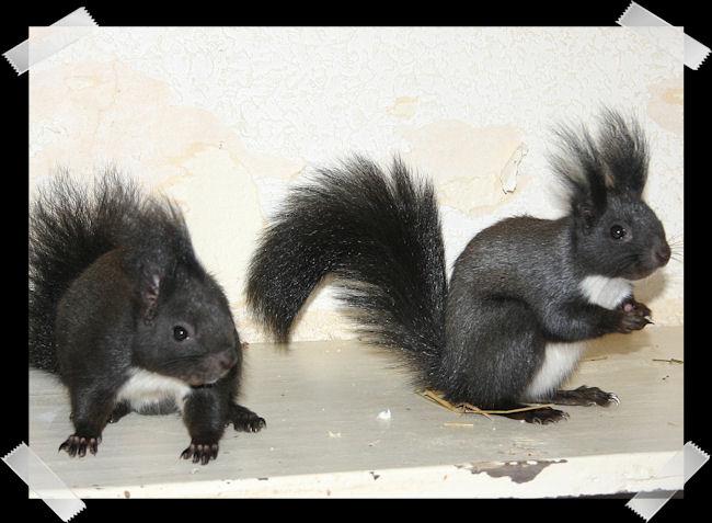 ♥♥♥ Photos et vidéos de Vanille et Chocolat,écureuils Japonais à ventre blanc... et de leurs frères et soeurs poilus ! ♥♥♥ - Page 5 Copie_64