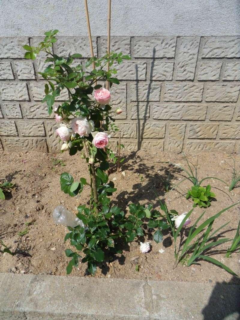 vos jardins  vos plantes - Page 14 Sdc11615