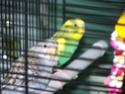 P'tite grise qui manque des plumes...ne poussent pas vites! 100_2014