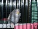 P'tite grise qui manque des plumes...ne poussent pas vites! 100_2112