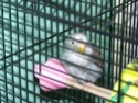 P'tite grise qui manque des plumes...ne poussent pas vites! 100_2116