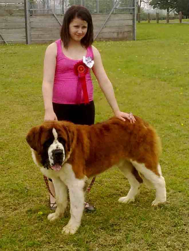 Barney and sophie at the united st bernard show  Barney11