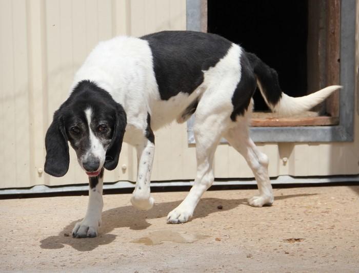 YOUPY, croisé beagle/épagneul mâle, 4 ans (72) Dog10