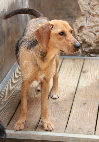 DÉZI, croisée beagle femelle, 2 an (72) Dog_1010