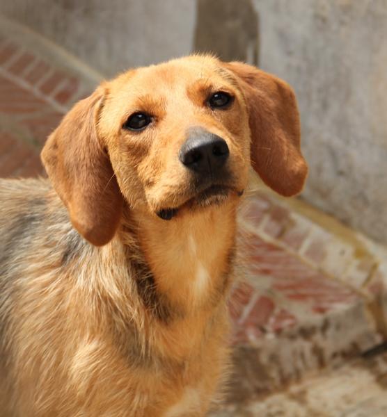 DÉZI, croisée beagle femelle, 2 an (72) Dog_1110