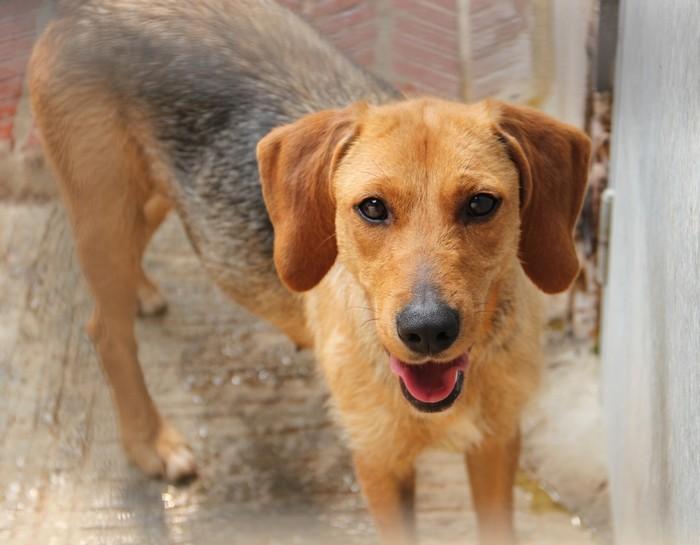 DÉZI, croisée beagle femelle, 2 an (72) Dog_1210