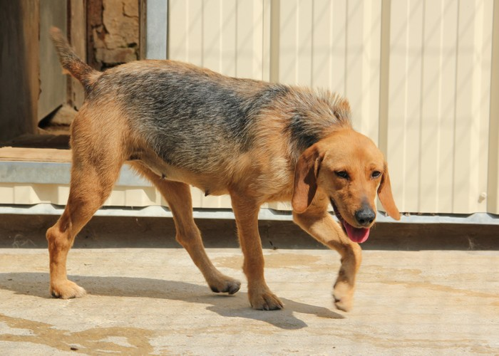 DÉZI, croisée beagle femelle, 2 an (72) Dog_810