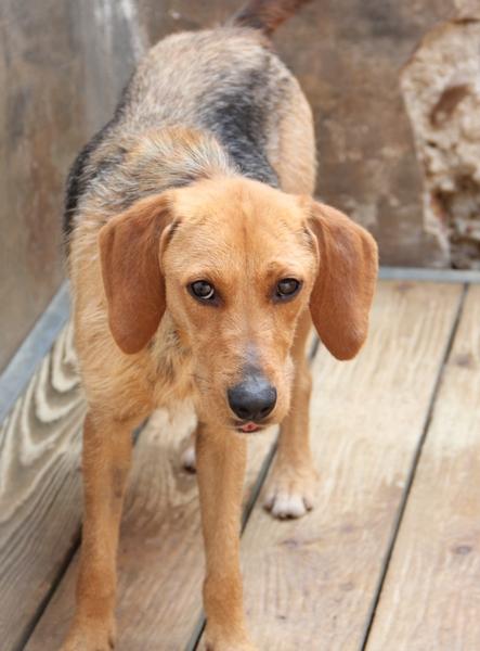DÉZI, croisée beagle femelle, 2 an (72) Dog_910