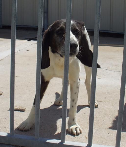YOUPY, croisé beagle/épagneul mâle, 4 ans (72) Dscf8415