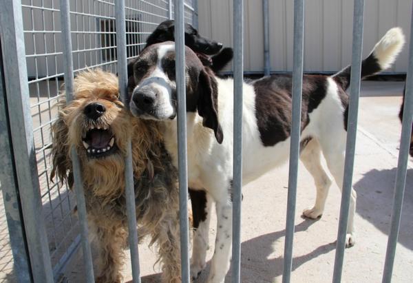 YOUPY, croisé beagle/épagneul mâle, 4 ans (72) Img_1017