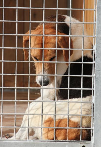 ACTIF, croisé beagle mâle, 11 ans (72) Lda_1526