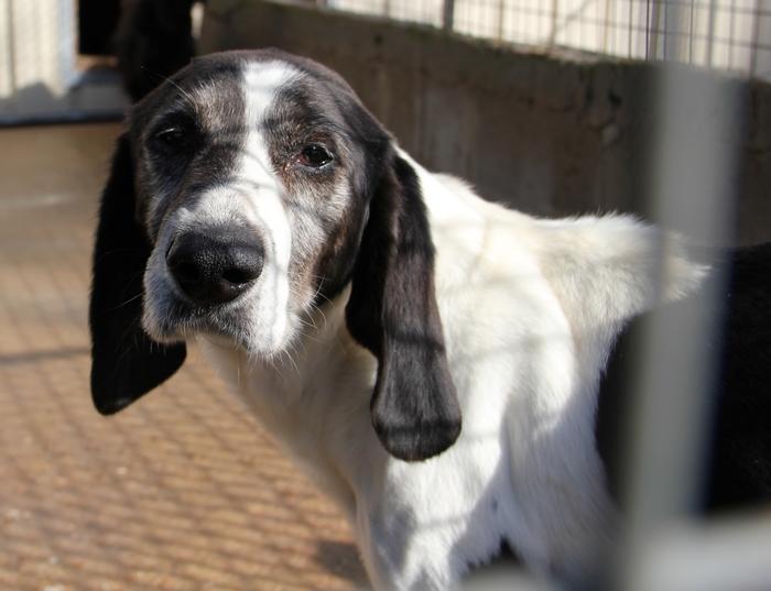 YOUPY, croisé beagle/épagneul mâle, 4 ans (72) Ldas_342