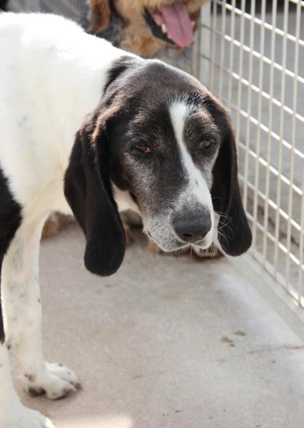 YOUPY, croisé beagle/épagneul mâle, 4 ans (72) Youpy10
