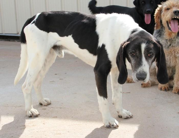 YOUPY, croisé beagle/épagneul mâle, 4 ans (72) Youpy_10