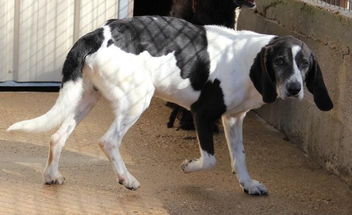 YOUPY, croisé beagle/épagneul mâle, 4 ans (72) Youpy_12