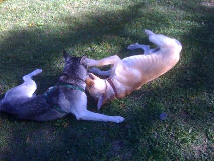 Mira femelle husky lof adoptée: peut on avoir des nouvelles ? Jeux_210