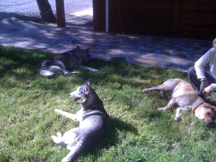 Mira femelle husky lof adoptée: peut on avoir des nouvelles ? Ses_co10