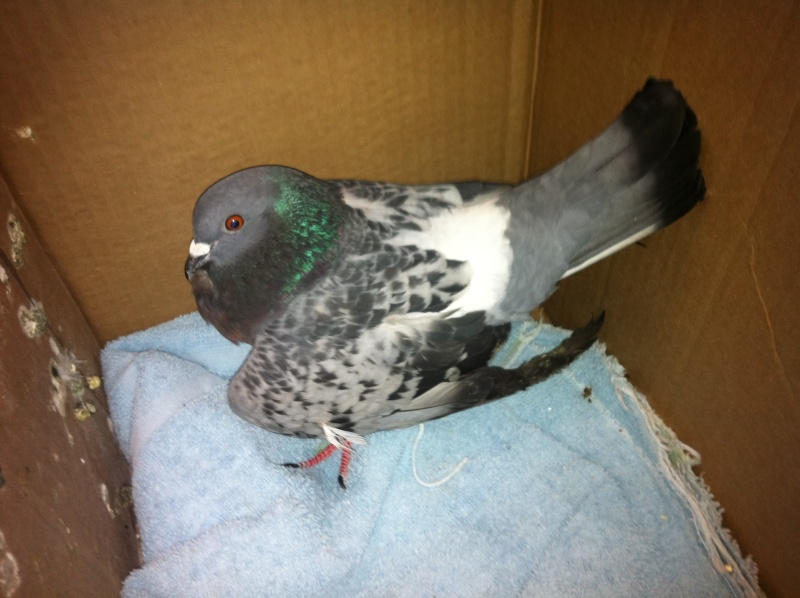 Pigeon with broken or dislocated wing !!! 00710