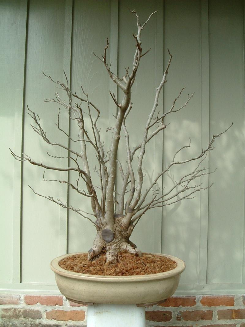 magnolia - Star Magnolia. Magnol10