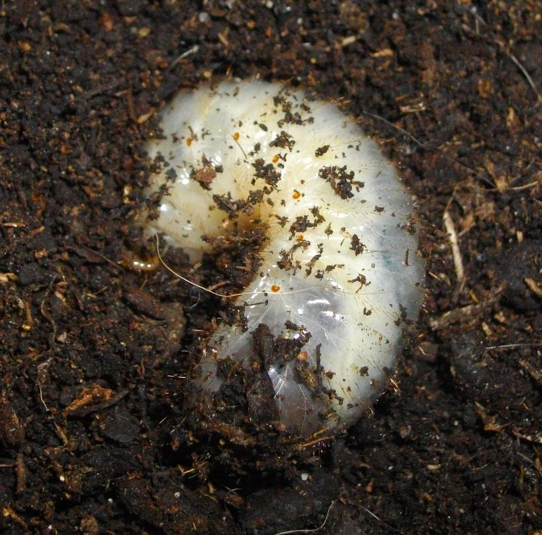 Grosse larve dodue Imgp1910