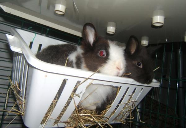Choupie, lapine naine de 3 mois [RESERVEE] Paula_10