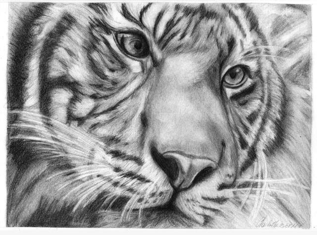 Nouveaux portraits Tigre10