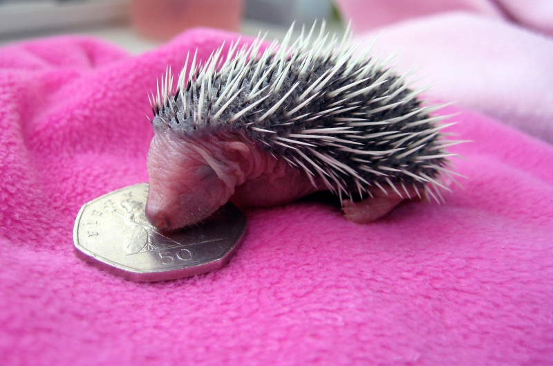 Stanley the baby hedgehog - shot dead in local cemetery  Stanle12