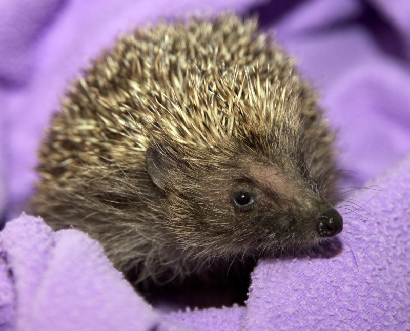 Stanley the baby hedgehog - shot dead in local cemetery  Stanle13