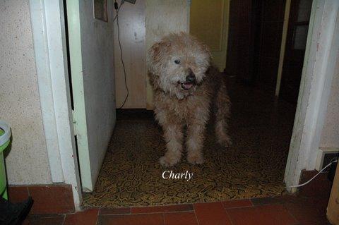 CHARLY papy de 15 ans croisé caniche  EN FA Définitif  Dsc_7115