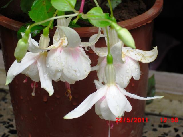 Le Fuchsia-culture et entretien Cimg1014