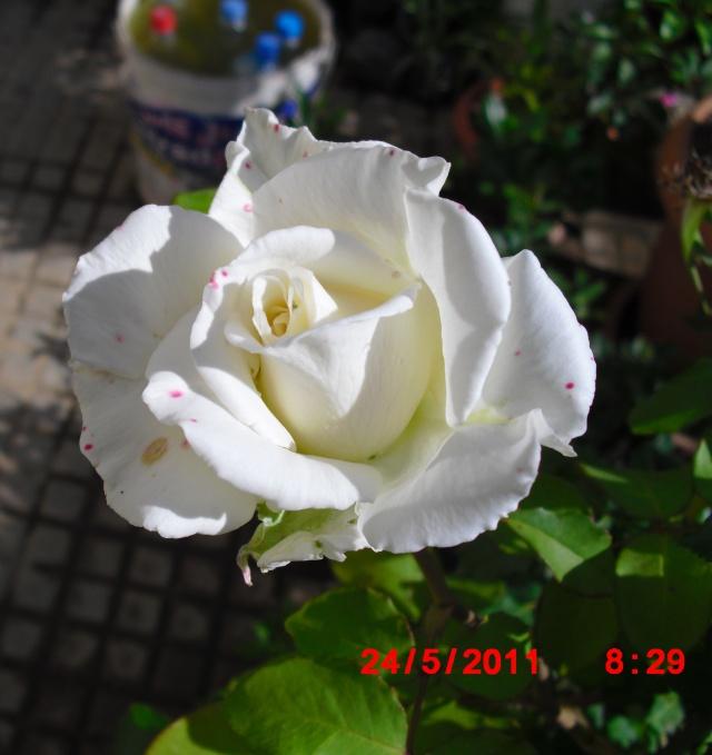 le royaume des rosiers...Vive la Rose ! - Page 2 Cimg1016