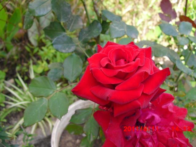 le royaume des rosiers...Vive la Rose ! - Page 2 Cimg1116